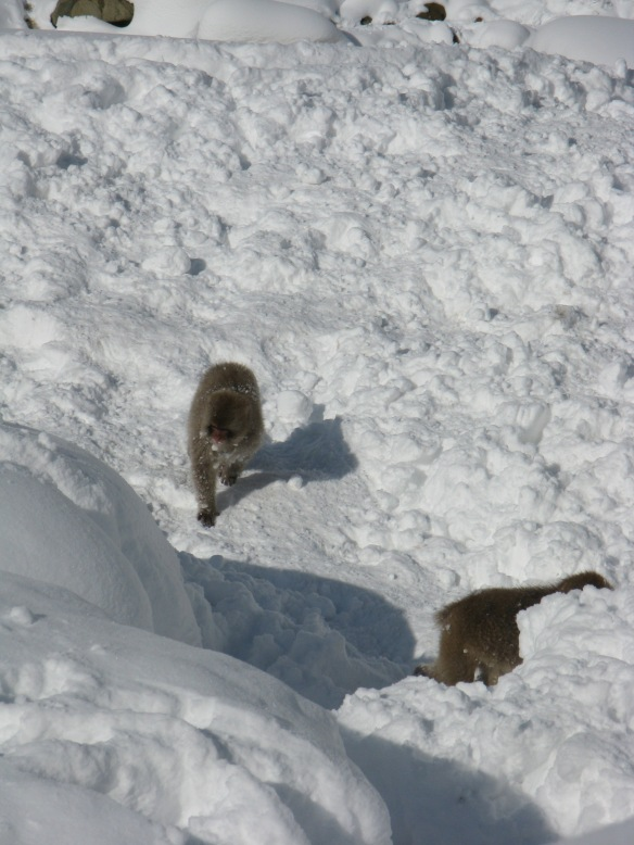 The Monkeys roam free and have fun in the snow. They are like children play fighting with each other