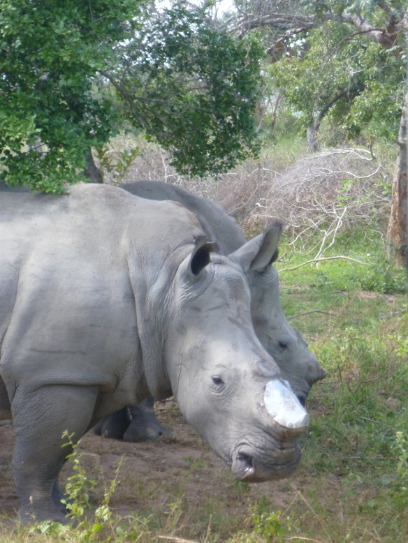 the saddest thing, rhino's poached for their horn!