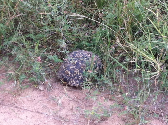 spotting the little five as well as the big, a leopard tortoise