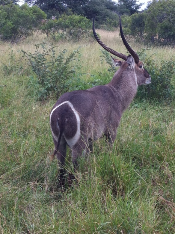 The waterbuck, so elegant.