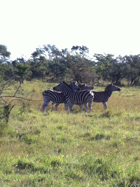 Yes more zebra but they are so fun!