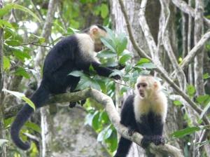 Capucin monkey's