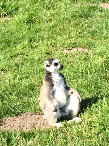 Just chillin Lemur style